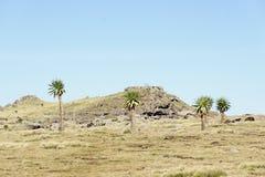 Lobélie géante en tournée d'arête en montagnes de Simien Photographie stock
