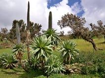 Lobélie géante, montagnes de Simien, Ethiopie Images libres de droits
