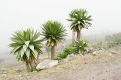 Lobélie géante près de village de Chiro Leba, montagnes de Simien Images stock