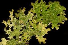 Lobaria pulmonarius Royalty Free Stock Image