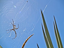Lobata Argiope μέσα  spiderweb Στοκ φωτογραφία με δικαίωμα ελεύθερης χρήσης