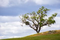 Lobata för Quercus för dalek upp på en kulle; bakgrund för molnig himmel; Södra San Francisco Bay område, San Jose, Kalifornien royaltyfri bild