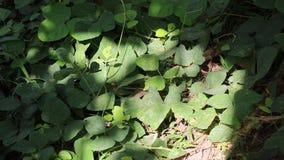 Lobata Pueraria ή δέντρο thomsoni Pueraria φιλμ μικρού μήκους