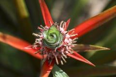 Lobe results of  Bromeliad plant Royalty Free Stock Photos