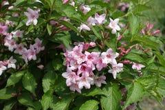 5-lobed розовые цветки weigela Флориды Стоковое Фото
