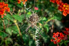 Lobed Agiope. Female Lobed Agiope spider waiting on her web with stabilimentum clearly visible royalty free stock images