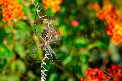Lobed Agiope. Female Lobed Agiope spider waiting on her web with stabilimentum clearly visible stock images