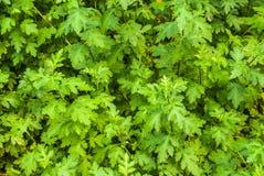 Lobed Gevormd van Dendranthema of Chrysant Morifolium Ramat De achtergrond van bladeren Stock Foto's