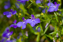 Lobelia Royalty Free Stock Photo