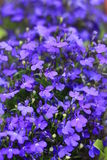 Lobelia photo stock