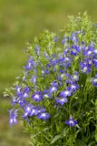 Lobelia. Blue lobelia Royalty Free Stock Image
