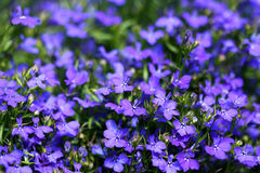 Lobelia stock photos
