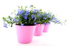 Lobelia azul Fotografía de archivo libre de regalías