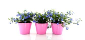 Lobelia azul Imagem de Stock Royalty Free