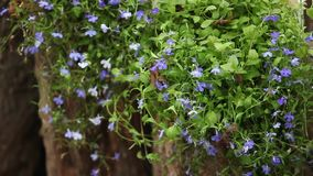 Lobelia beautiful blue flowers stock video