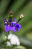 Lobelia and bee Stock Photo