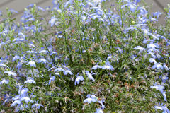 Lobelia blommar stort, närbild Royaltyfria Bilder