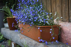 Lobelia blue blossom in brown plastic pot Royalty Free Stock Photos