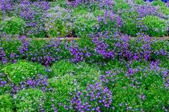 Lobelia cardinalis ist eine blühende Pflanze für die Umwandlung Von einem niedrigen Büschel von Blumen mit einer kleinen dunklen  Stockfoto