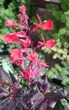 Lobelia cardinalis 'Queen Victoria' Stock Image
