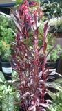 Lobelia cardinalis 'Queen Victoria' Stock Photos