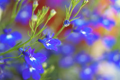 Lobelia compacta Royalty Free Stock Photo