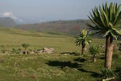 Lobelia in den Simien Bergen Stockfoto