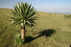 Lobelia em montanhas de Simien Imagem de Stock