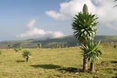 Lobelia en montagnes de Simien Photos stock