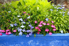 Lobelia erinus in a blue pot Stock Photo