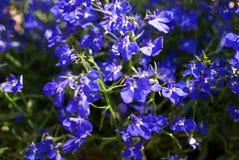 Lobelia erinus. Edging lobelia. Garden lobelia. Trailing lobelia. Flowers growing in a garden, park, or nature Royalty Free Stock Image