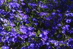Lobelia erinus. Edging lobelia. Garden lobelia. Trailing lobelia. Flowers growing in a garden, park, or nature Royalty Free Stock Photos