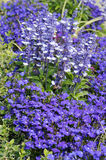 Lobelia erinus and Salvia Farinacea Stock Images