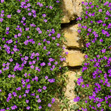 Lobelia erinus small purple magenta flowers Stock Images