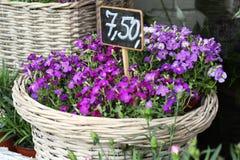 Lobelia erinus. In wicker basket Royalty Free Stock Image