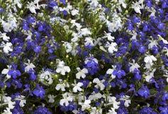 Lobelia för blåa och vita blommor Arkivbild