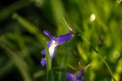 Lobelia Flor cultivada Fotos de archivo