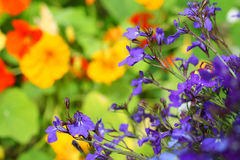 Lobelia flowers stock photo