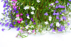 Lobelia flowers Stock Images