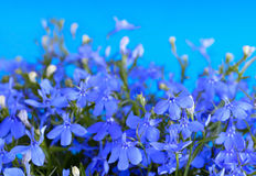 Lobelia flowers Royalty Free Stock Images