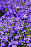 Lobelia Royalty Free Stock Photography