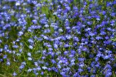 Lobelia Flowers Royalty Free Stock Photos