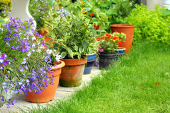 Lobelia flowers and plants Stock Photo