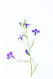 Lobelia flowers on white Royalty Free Stock Photo