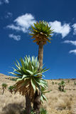 Lobelia gigante (Lobelia Rhynchpetalum) imagem de stock royalty free