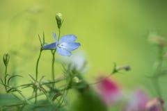 Lobelia i gräsplan och rosa färger Arkivfoton