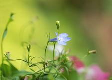 Lobelia i gräsplan och rosa färger Royaltyfri Fotografi