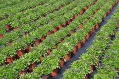 Lobelia or lobelia Campanulaceae. Royalty Free Stock Photography