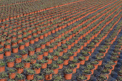 Lobelia or lobelia Campanulaceae in the wholesale. Stock Photo