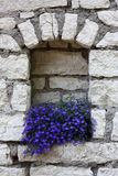 Lobelia in a niche. Stock Images